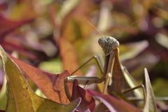 Περίεργα mantis επίκλησης ακριβώς που προσπαθούν να συνδυάσει μέσα Στοκ εικόνα με δικαίωμα ελεύθερης χρήσης