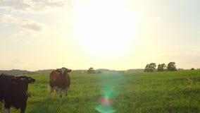 Περίεργες αγελάδες σε ένα λιβάδι φιλμ μικρού μήκους
