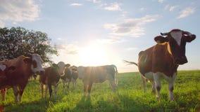 Περίεργες αγελάδες σε ένα λιβάδι απόθεμα βίντεο