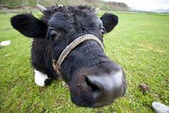 Περίεργη αγελάδα Στοκ εικόνες με δικαίωμα ελεύθερης χρήσης