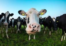Περίεργη αγελάδα που φαίνεται κεκλεισμένων των θυρών Στοκ φωτογραφίες με δικαίωμα ελεύθερης χρήσης