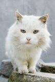 Περίεργη γάτα με τα έντονα μπλε μάτια Στοκ εικόνα με δικαίωμα ελεύθερης χρήσης
