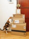 Περίεργη γάτα που επιθεωρεί τα πολλαπλάσια πρωταρχικά κιβώτια του Αμαζονίου Στοκ φωτογραφία με δικαίωμα ελεύθερης χρήσης
