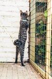 Περίεργη γάτα που ψάχνει μια έξοδο Στοκ Εικόνα
