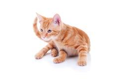 Περίεργη γάτα Στοκ Εικόνες