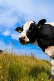Περίεργη γαλακτοκομική αγελάδα που στέκεται στον τομέα Στοκ Εικόνες