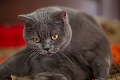 Περίεργη γκρίζα βρετανική γάτα shorthair Στοκ Εικόνες