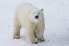 Περίεργη εφηβική πολική αρκούδα στοκ φωτογραφίες