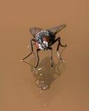 Περίεργη και πανέμορφη μύγα σπιτιών στην αντανάκλαση γυαλιού Στοκ Φωτογραφίες