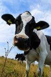 Περίεργη κινηματογράφηση σε πρώτο πλάνο γαλακτοκομικών αγελάδων στον τομέα Στοκ Φωτογραφία