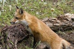 Περίεργη κόκκινη αλεπού Στοκ φωτογραφίες με δικαίωμα ελεύθερης χρήσης