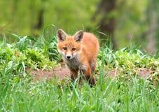 Περίεργη κόκκινη εξάρτηση αλεπούδων Στοκ Εικόνες