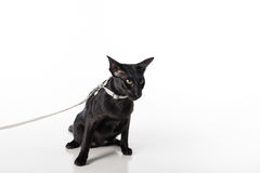 Περίεργη μαύρη ασιατική συνεδρίαση γατών Shorthair στον άσπρο πίνακα με την αντανάκλαση και το λουρί Άσπρη ανασκόπηση Να φανεί αρ Στοκ φωτογραφίες με δικαίωμα ελεύθερης χρήσης