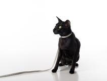 Περίεργη μαύρη ασιατική συνεδρίαση γατών Shorthair στον άσπρο πίνακα με την αντανάκλαση και το λουρί Άσπρη ανασκόπηση Να φανεί αρ Στοκ εικόνες με δικαίωμα ελεύθερης χρήσης