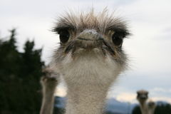 Περίεργη στρουθοκάμηλος που κοιτάζει στα μάτια σας Στοκ φωτογραφία με δικαίωμα ελεύθερης χρήσης