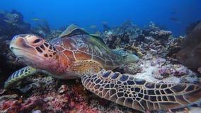 Περίεργη χελώνα θάλασσας στοκ εικόνες