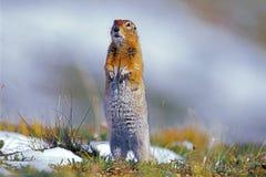 Περίεργος αρκτικός σκίουρος Στοκ φωτογραφίες με δικαίωμα ελεύθερης χρήσης