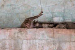 Περίεργος βιρμανός πίθηκος macaque που βρίσκεται στο θρυμματιμένος ρόδινο τοίχο και που κοιτάζει κάτω Στοκ εικόνα με δικαίωμα ελεύθερης χρήσης