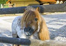 Περίεργος καφετής ponny Στοκ Εικόνες