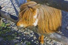 Περίεργος καφετής ponny Στοκ φωτογραφία με δικαίωμα ελεύθερης χρήσης