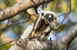 Περίεργος κερκοπίθηκος Sifaka μωρών Στοκ φωτογραφίες με δικαίωμα ελεύθερης χρήσης