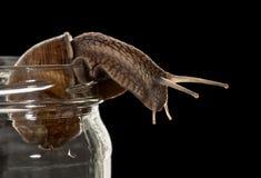 Περίεργος κοιτάξτε του σαλιγκαριού στοκ φωτογραφία με δικαίωμα ελεύθερης χρήσης