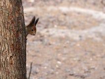 Περίεργος κόκκινος σκίουρος που κρυφοκοιτάζει πίσω από τον κορμό δέντρων στοκ φωτογραφία με δικαίωμα ελεύθερης χρήσης