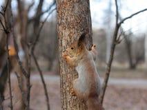 Περίεργος κόκκινος σκίουρος που κρυφοκοιτάζει πίσω από τον κορμό δέντρων στοκ εικόνα