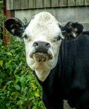 Περίεργος νέος ταύρος Στοκ φωτογραφίες με δικαίωμα ελεύθερης χρήσης