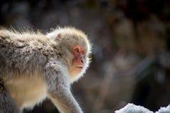 Περίεργος πίθηκος χιονιού στον ήλιο Στοκ Εικόνες