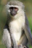 Περίεργος πίθηκος Στοκ Εικόνες