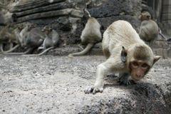 περίεργος πίθηκος Στοκ Φωτογραφία