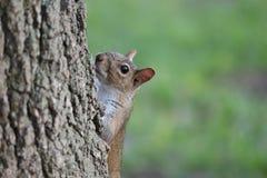 Περίεργος σκίουρος που κοιτάζει έξω από πίσω από έναν κορμό δέντρων στοκ φωτογραφίες