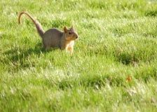 περίεργος σκίουρος στοκ εικόνες