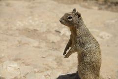 περίεργος σκίουρος Στοκ εικόνες με δικαίωμα ελεύθερης χρήσης
