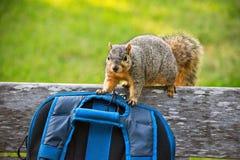 περίεργος σκίουρος Στοκ Φωτογραφίες