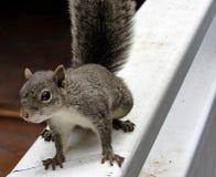 περίεργος σκίουρος Στοκ φωτογραφίες με δικαίωμα ελεύθερης χρήσης