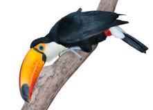 περίεργος toucan πολύ Στοκ εικόνες με δικαίωμα ελεύθερης χρήσης