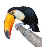 περίεργος toucan Στοκ Φωτογραφίες