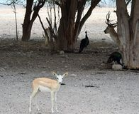 Περίεργο αραβικό Gazelle, με τα ελάφια Peacocks και αγραναπαύσεων Στοκ Φωτογραφία