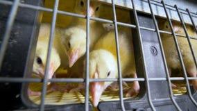 Περίεργο αστείο κοτόπουλο σε ένα αγρόκτημα κοτόπουλου που εξετάζει τη κάμερα Αγρόκτημα κοτόπουλων απόθεμα βίντεο