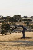 περίεργο δρύινο δέντρο ακ& Στοκ εικόνα με δικαίωμα ελεύθερης χρήσης