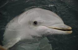 περίεργο δελφίνι Στοκ εικόνες με δικαίωμα ελεύθερης χρήσης