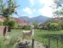 Περίεργο ζώο αποκαλούμενο llama Στοκ φωτογραφία με δικαίωμα ελεύθερης χρήσης