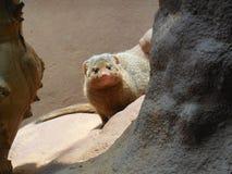 Περίεργο ζώο ζωολογικών κήπων Στοκ Εικόνα