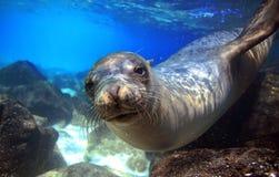 Περίεργο λιοντάρι θάλασσας υποβρύχιο Στοκ εικόνα με δικαίωμα ελεύθερης χρήσης