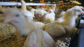 Περίεργο κοτόπουλο σε ένα αγρόκτημα κοτόπουλου που εξετάζει τη κάμερα Αγρόκτημα κοτόπουλων απόθεμα βίντεο