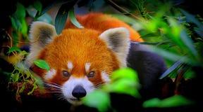 περίεργο κόκκινο panda στοκ φωτογραφία με δικαίωμα ελεύθερης χρήσης