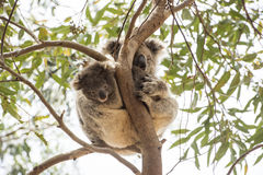 Περίεργο μωρό koala με τη μούμια Στοκ Φωτογραφίες