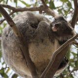 Περίεργο μωρό koala που φαίνεται έξω όπλα μητέρων ` s Στοκ Φωτογραφίες